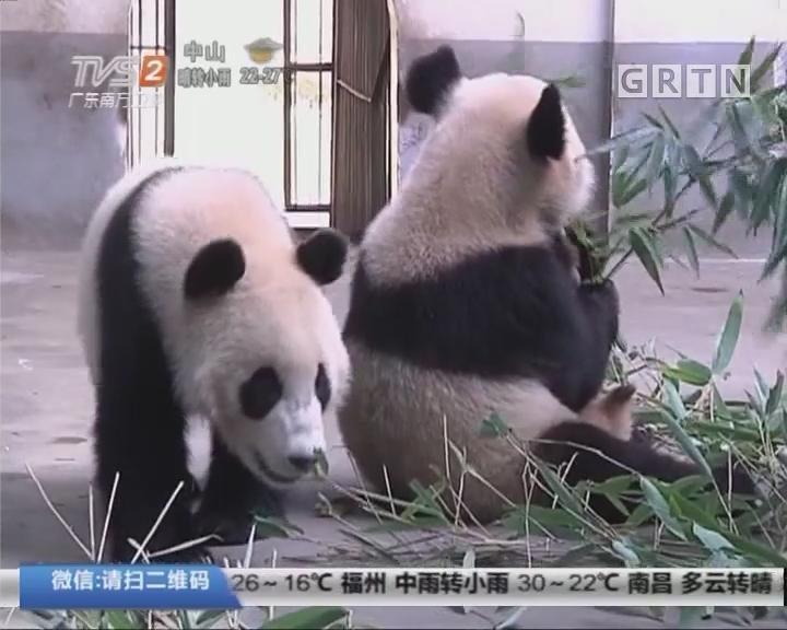 大熊猫:旅居南京五年 大熊猫将踏上返乡路