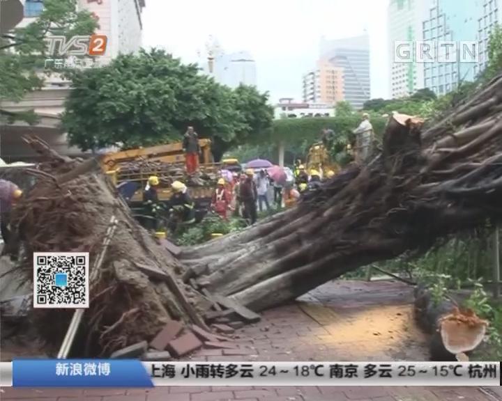 """广州市东风路:大树拦腰折断 小车遭""""灭顶之灾"""""""