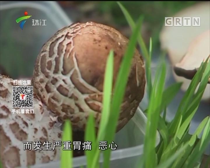 这货不是草菇!澳大利亚毒鹅膏菌可致命