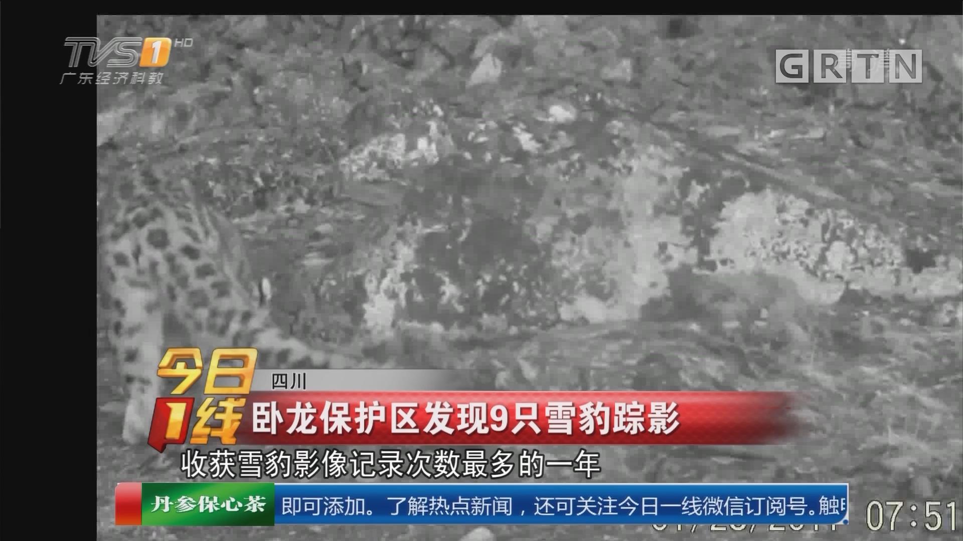 四川:卧龙保护区发现9只雪豹踪影