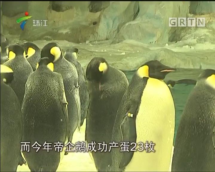 两只帝企鹅宝宝在珠海破壳