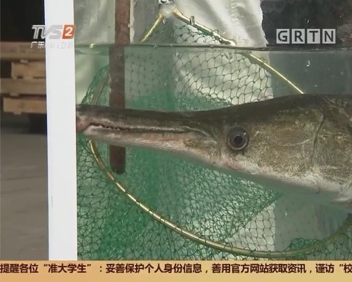 """佛山顺德:河涌惊现""""怪鱼"""" 外貌极像鳄鱼"""