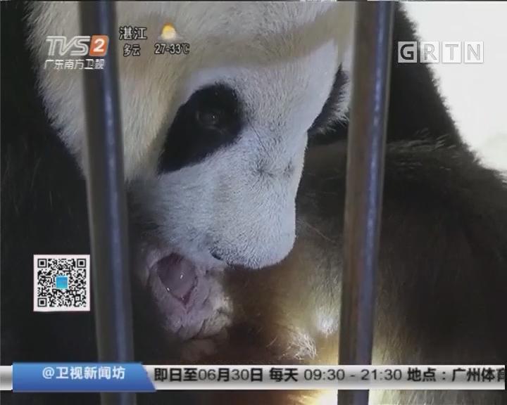 陕西:两熊猫顺利产下三只熊猫宝宝