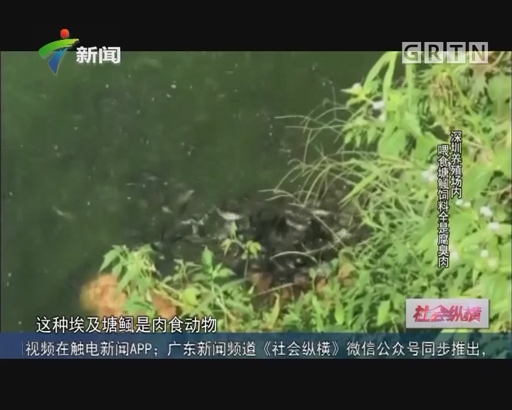 [2017-06-13]社会纵横:深圳养殖场内 喂食塘鲺饲料全是腐臭肉