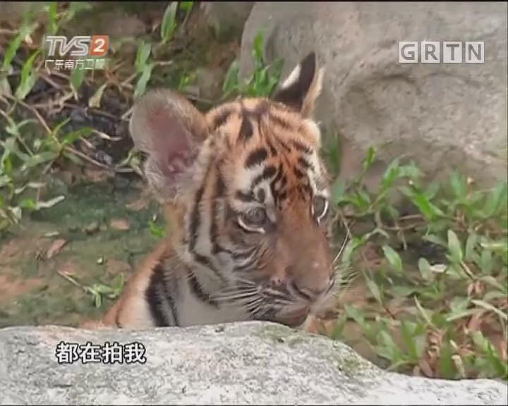 时隔十五年 广州动物园再诞华南虎