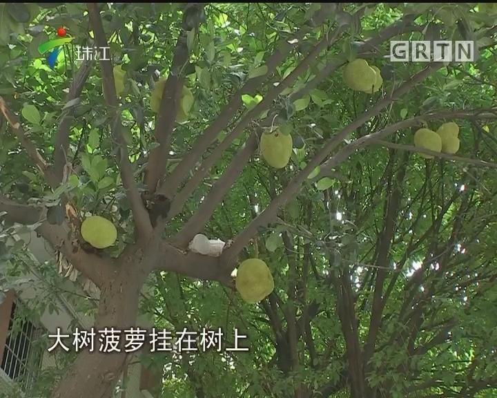 """广州:硕大果实挂树上 街坊担心""""中头彩"""""""