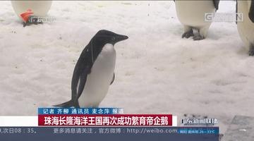 珠海长隆海洋王国再次成功繁育帝企鹅