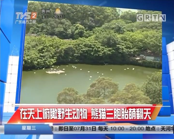 在天上俯瞰野生动物 熊猫三胞胎萌翻天