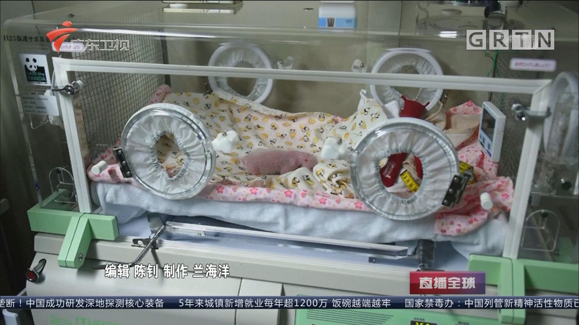 国际快讯:旅日大熊猫宝宝顺利度过第一周
