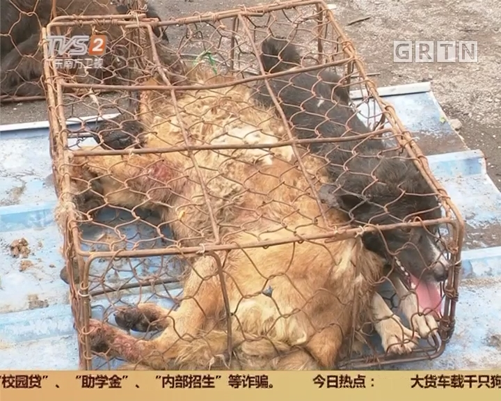 广州:大货车载千只狗狗被志愿者拦截