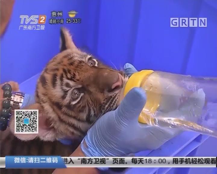 广州动物园:时隔20年 华南虎成功添虎女