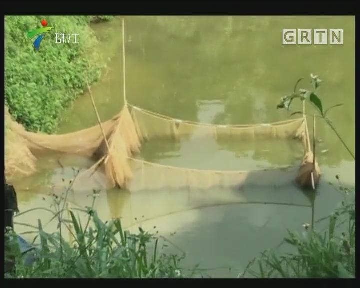 深圳:无证鱼塘使用禁药喂养塘鲺被取缔