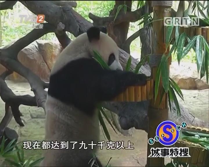 """熊猫三胞胎""""大搞""""生日趴"""