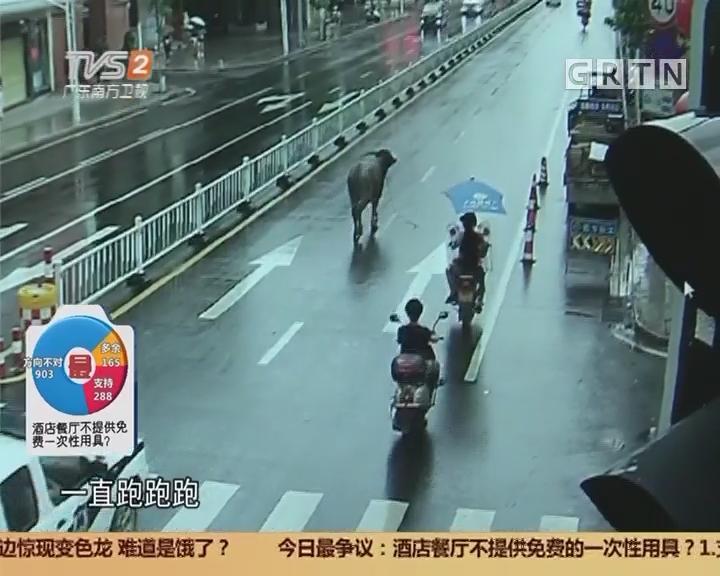"""广州从化:""""牛魔王""""上路伤人 警方无奈开枪击毙"""
