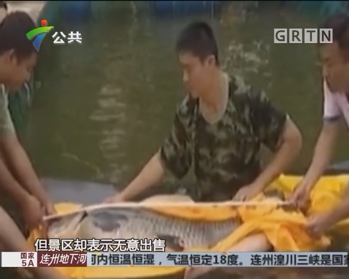 """佛山现百斤""""鲩鱼王"""" 体重与成年人相当"""
