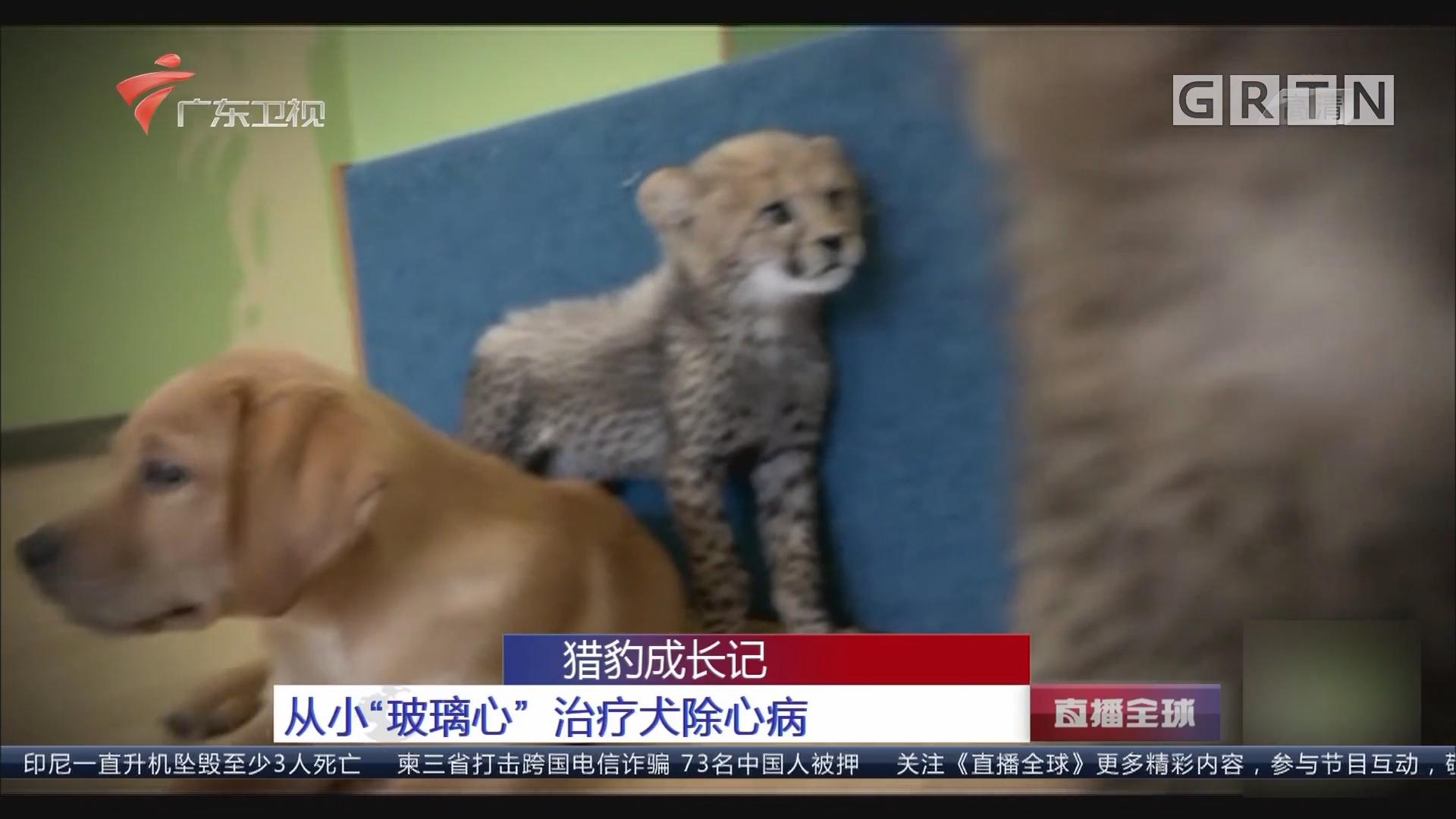 """猎豹成长记 从小""""玻璃心""""治疗犬除心病"""