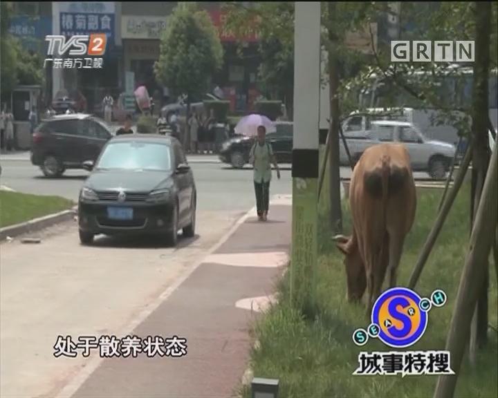 牛群闹市草坪散养?警方正在处理