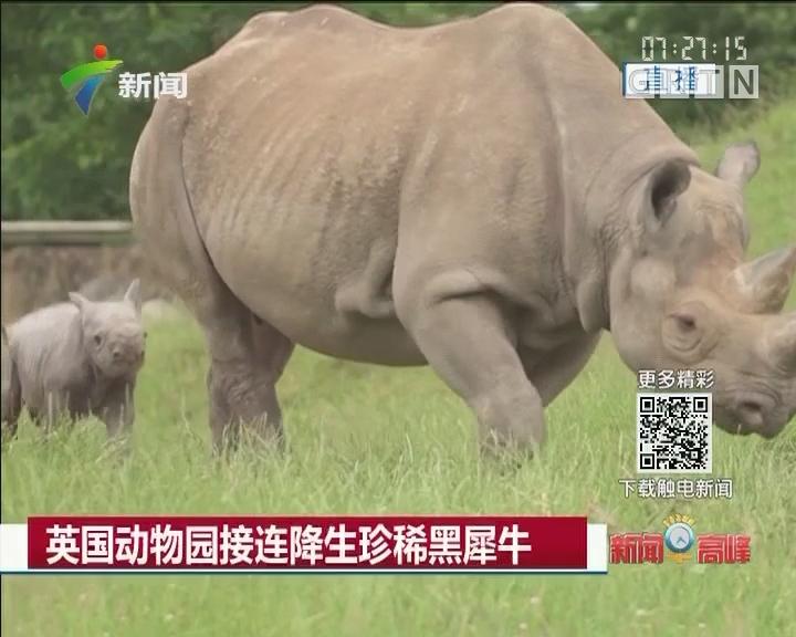 英国动物园接连降生珍稀黑犀牛
