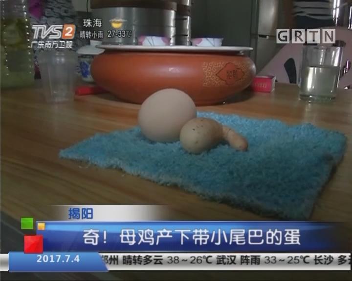 揭阳:奇!母鸡产下带小尾巴的蛋
