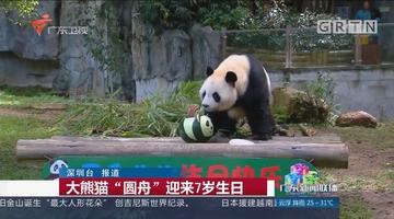 """大熊猫""""圆舟""""迎来7岁生日"""