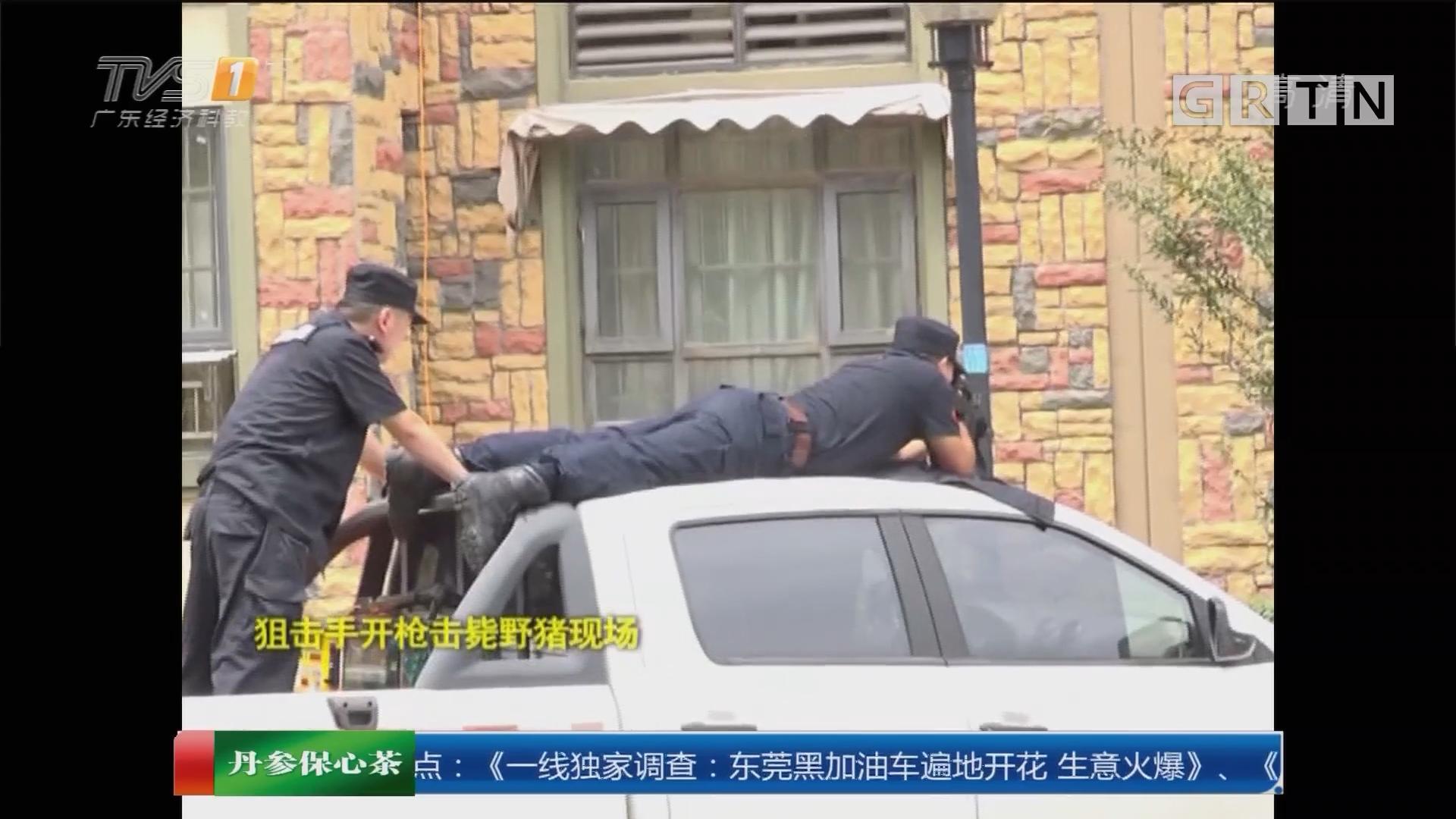 江苏南京:野猪闯小区大闹8小时 狙击手当场击毙