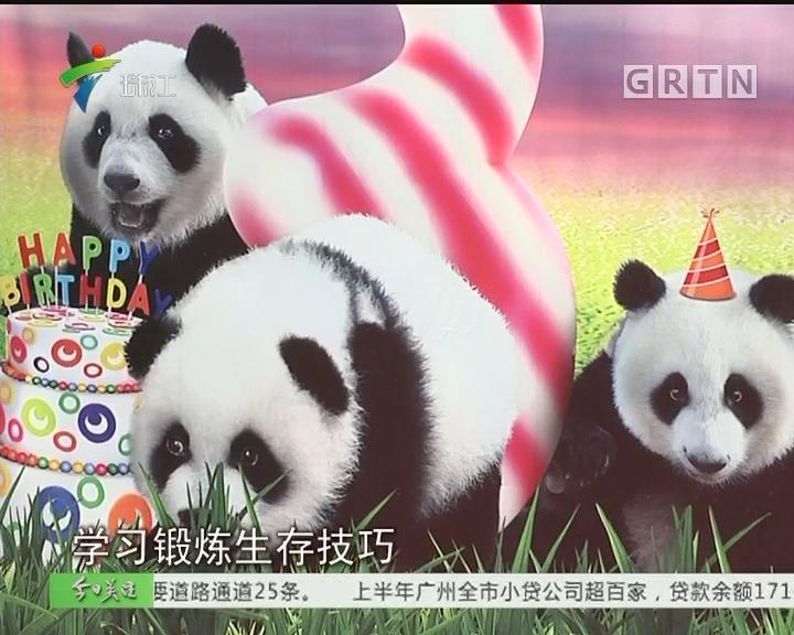 全球唯一大熊猫三胞胎3岁啦!