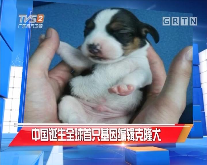 中国诞生全球首只基因编辑克隆犬