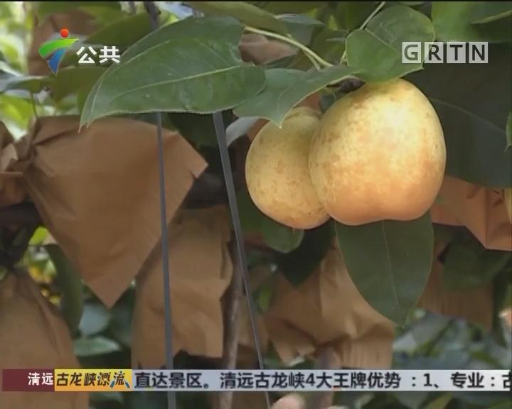 中华长寿乡 珍品水晶梨