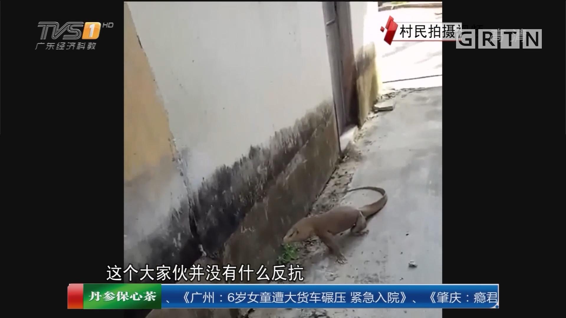 """潮州饶平:村庄惊现""""大蜥蜴""""村民啧啧称奇"""