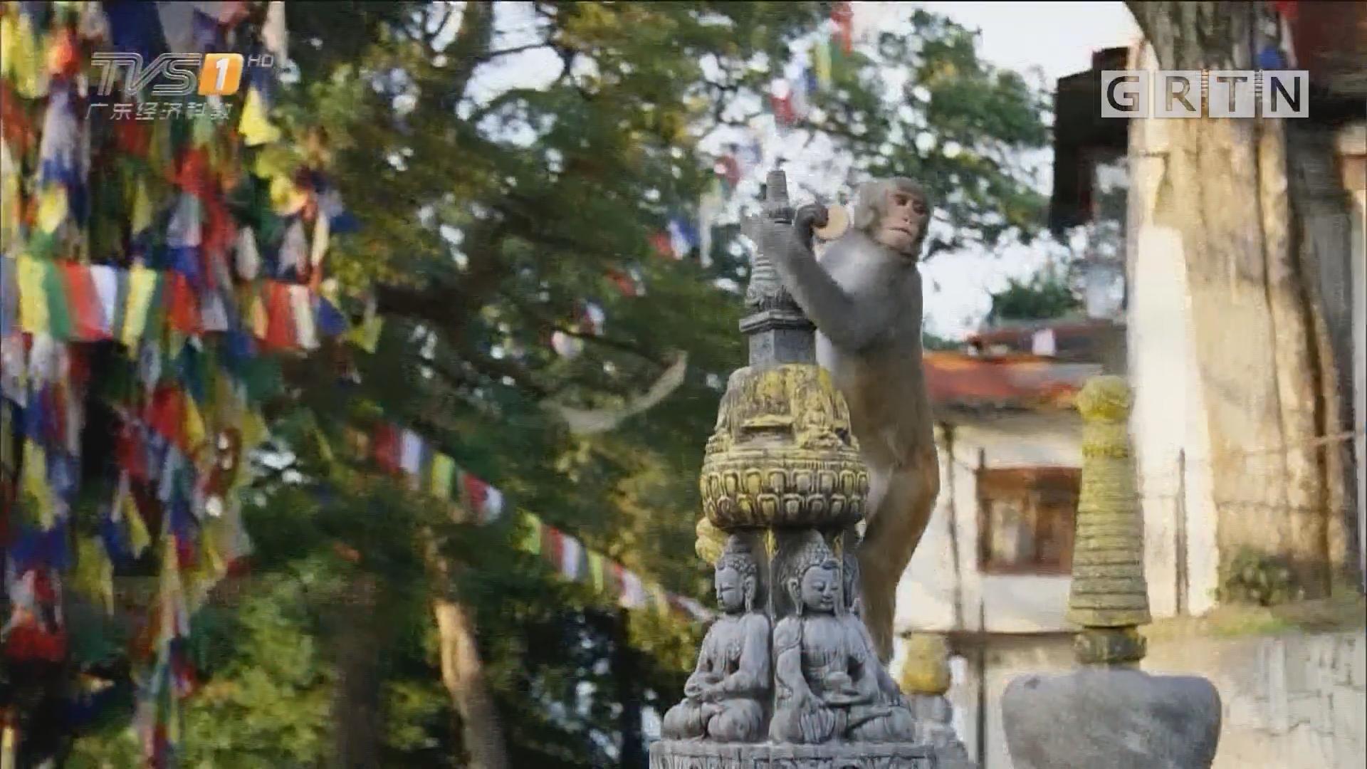尼泊尔——猴庙