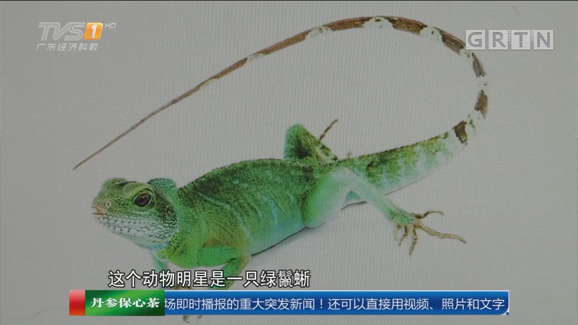 广州:包子铺旁边惊现绿鬣蜥 饿了?