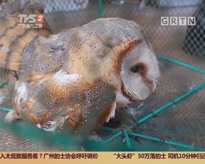 """阳江:受伤大鸟落入果园 原是""""猴面鹰"""""""