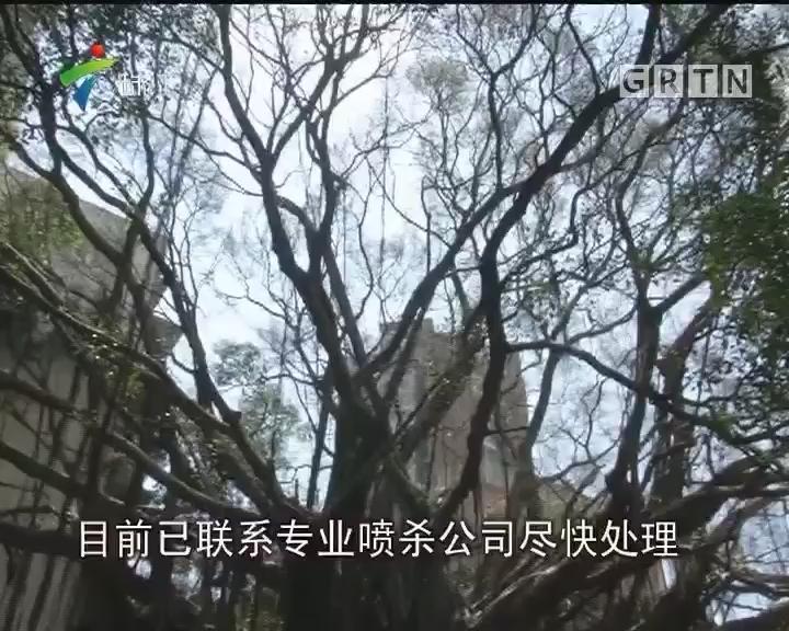 """深圳:古榕树深受虫害 惨变""""秃顶"""""""