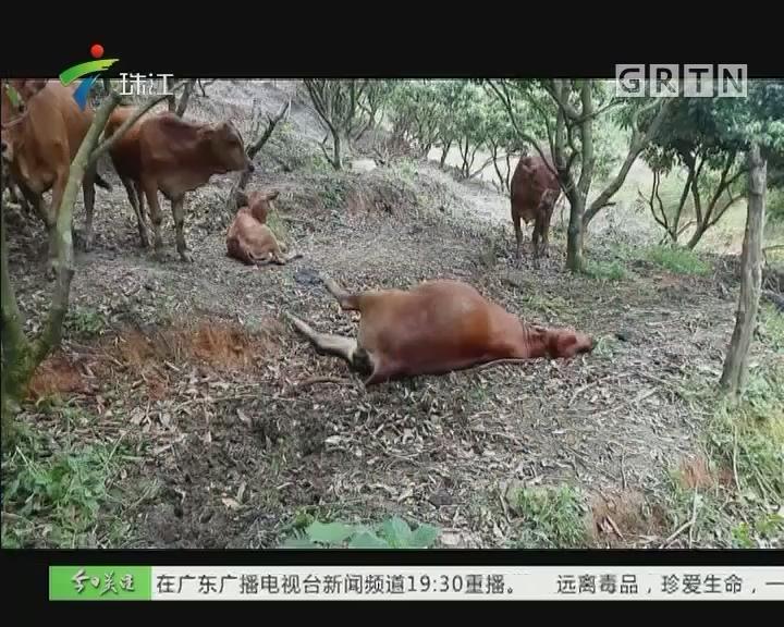 高州:16头牛离奇中毒 5头死亡