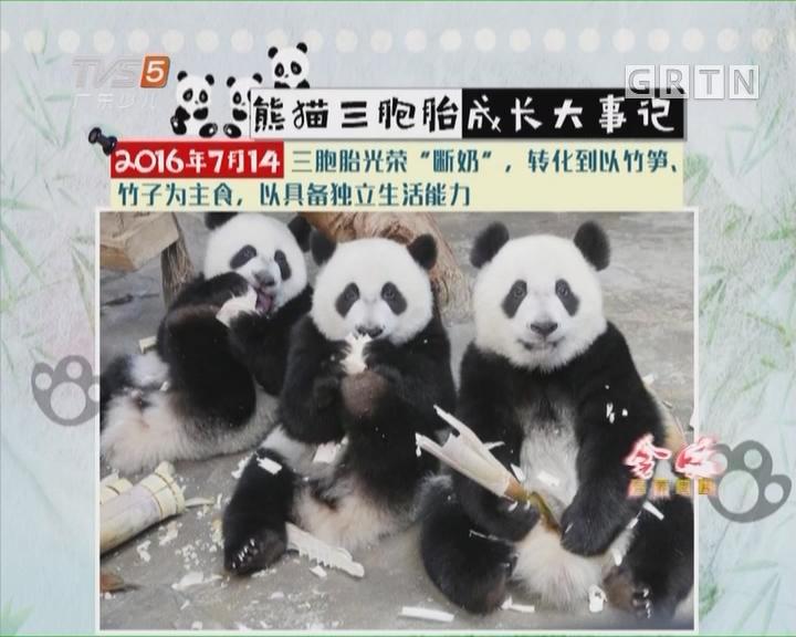 """[2017-08-01]南方小记者:熊猫""""萌帅酷""""三姐弟生日啦"""