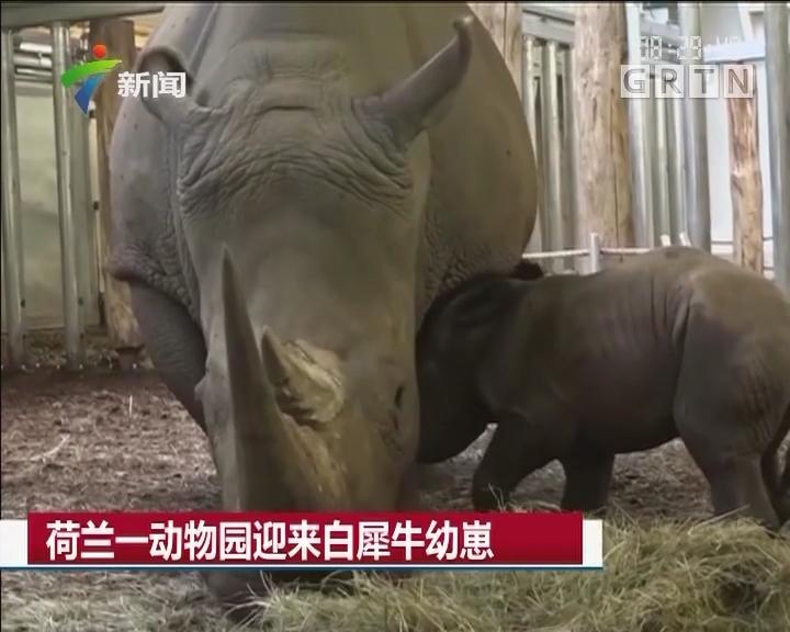 荷兰一动物园迎来白犀牛幼崽
