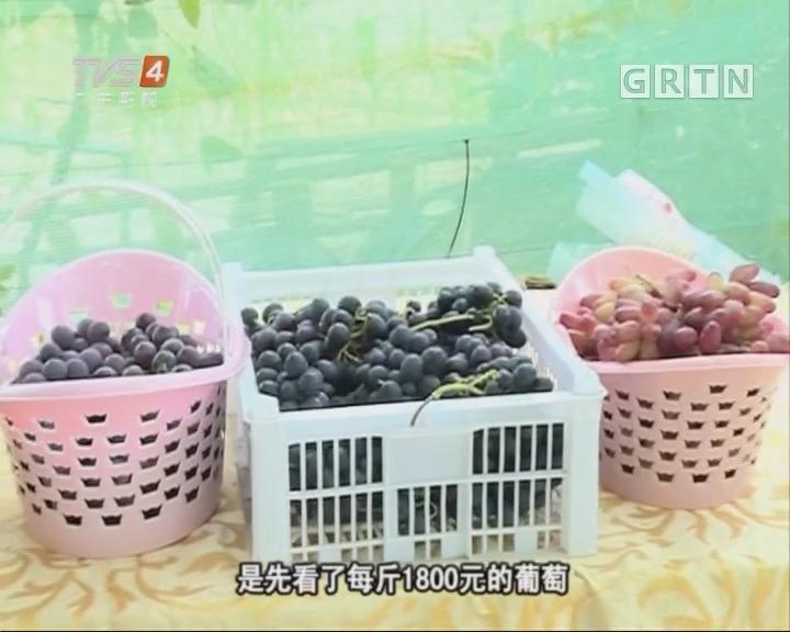 1800/斤的天价葡萄 产自从化良口镇