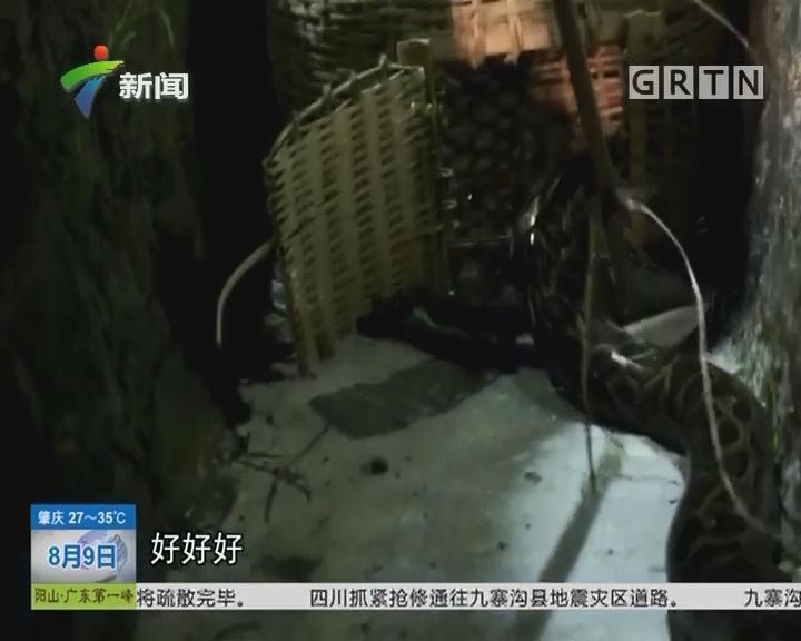 肇庆:巨蟒难耐酷热 出山纳凉