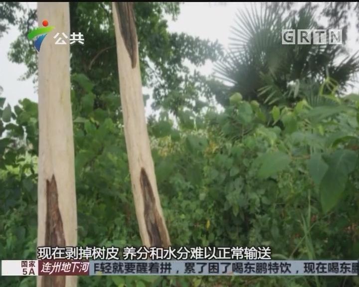 野生红豆杉惨遭剥皮 森林公安立案调查