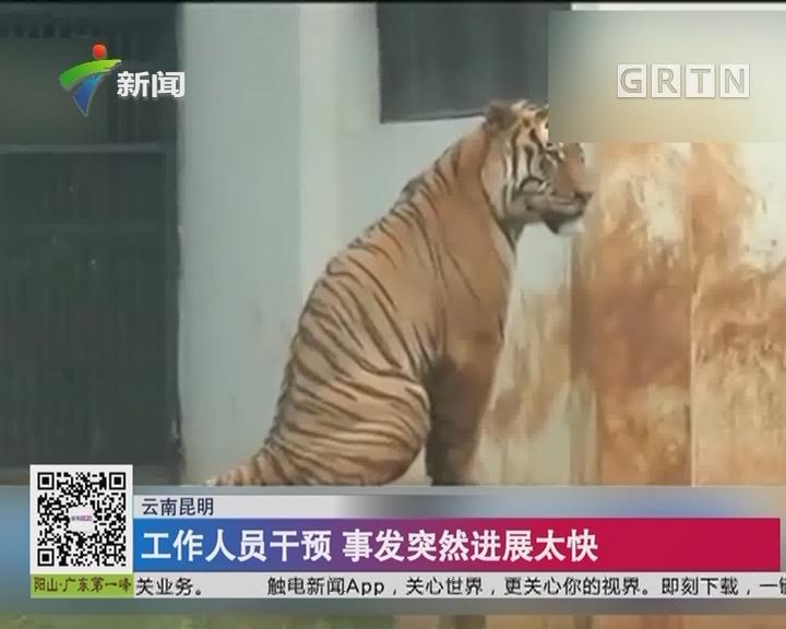 云南昆明:动物园2只公虎相斗一只被咬死