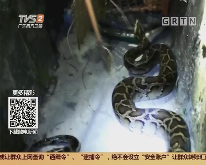 肇庆:警民联手 大战巨蟒