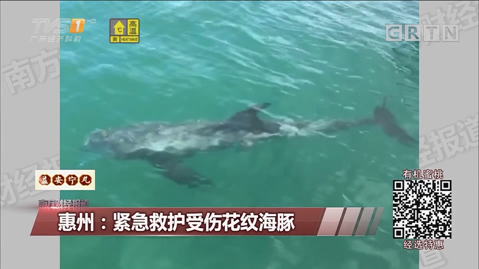 惠州:紧急救护受伤花纹海豚