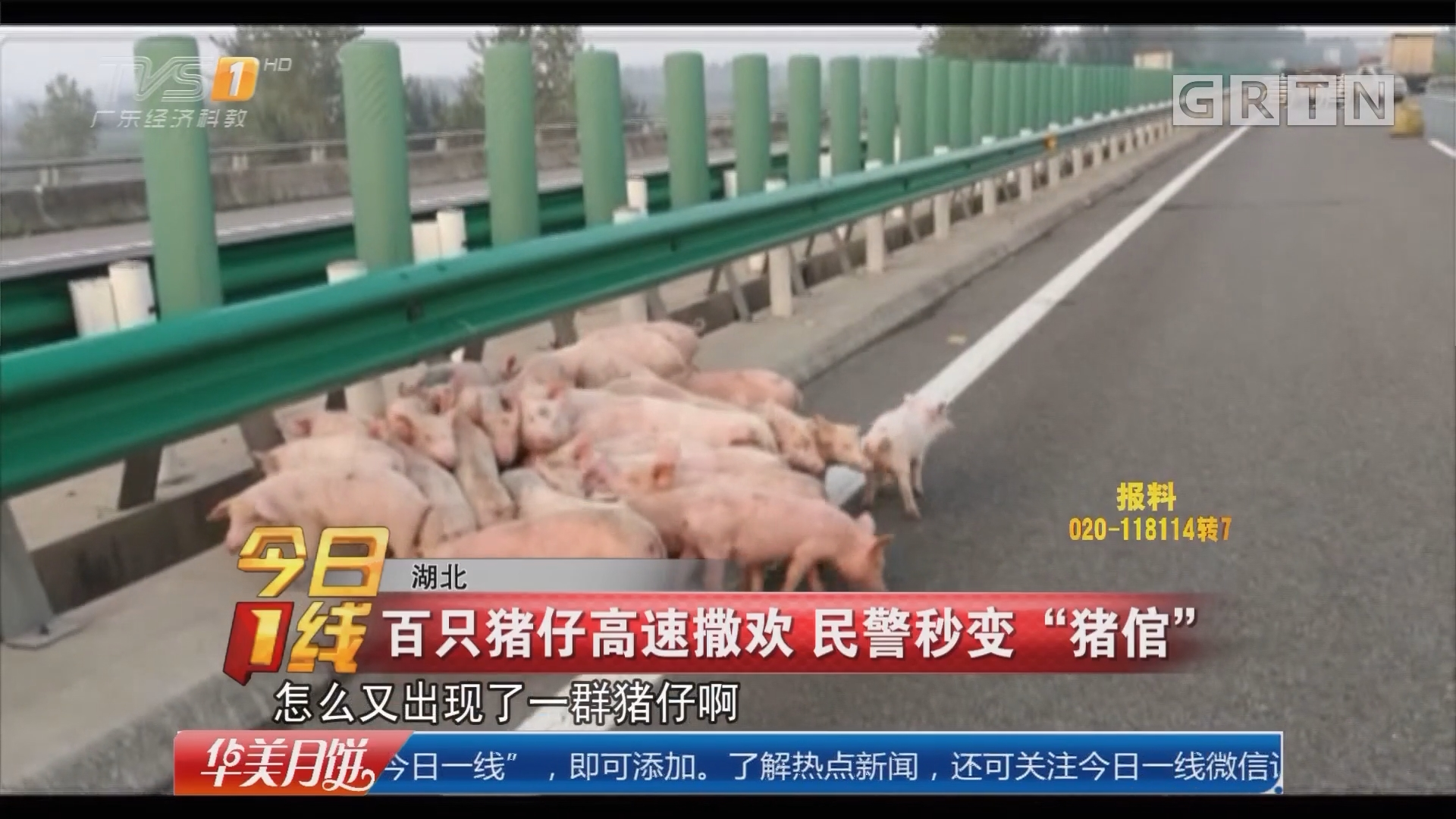 """湖北:百只猪仔高速撒欢 民警秒变""""猪倌"""""""