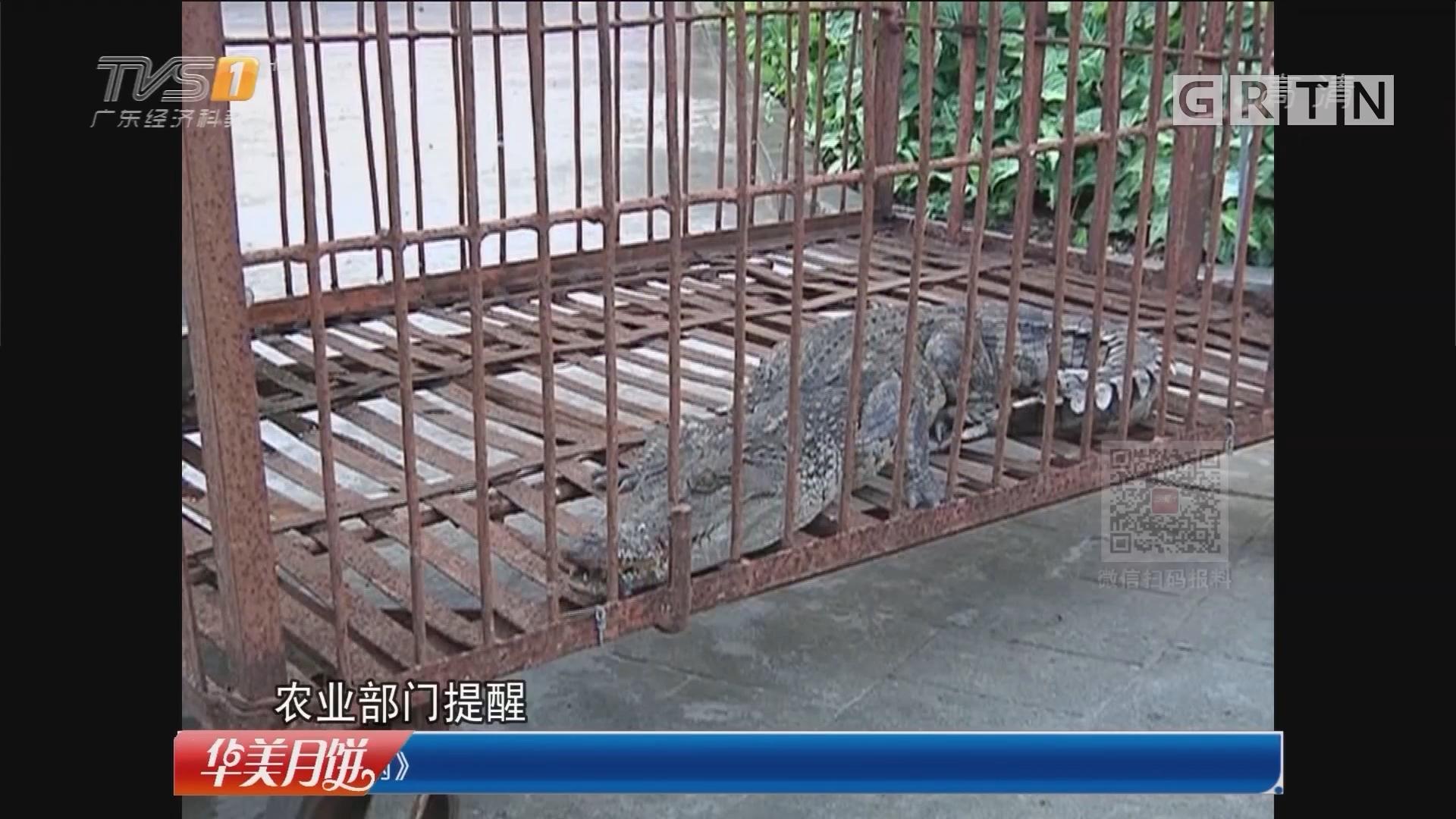 汕头:鳄鱼惊现田边 警民合力抓捕遇还击