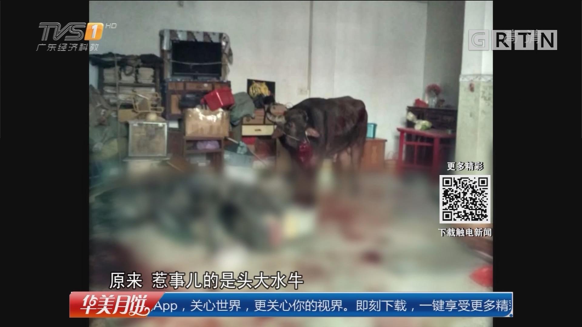 汕头潮南区:大水牛闯民宅伤人 特警鸣枪处置