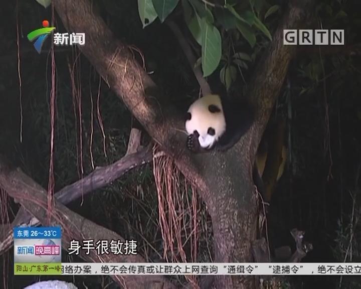 广州:与国宝同眠 夜宿熊猫馆