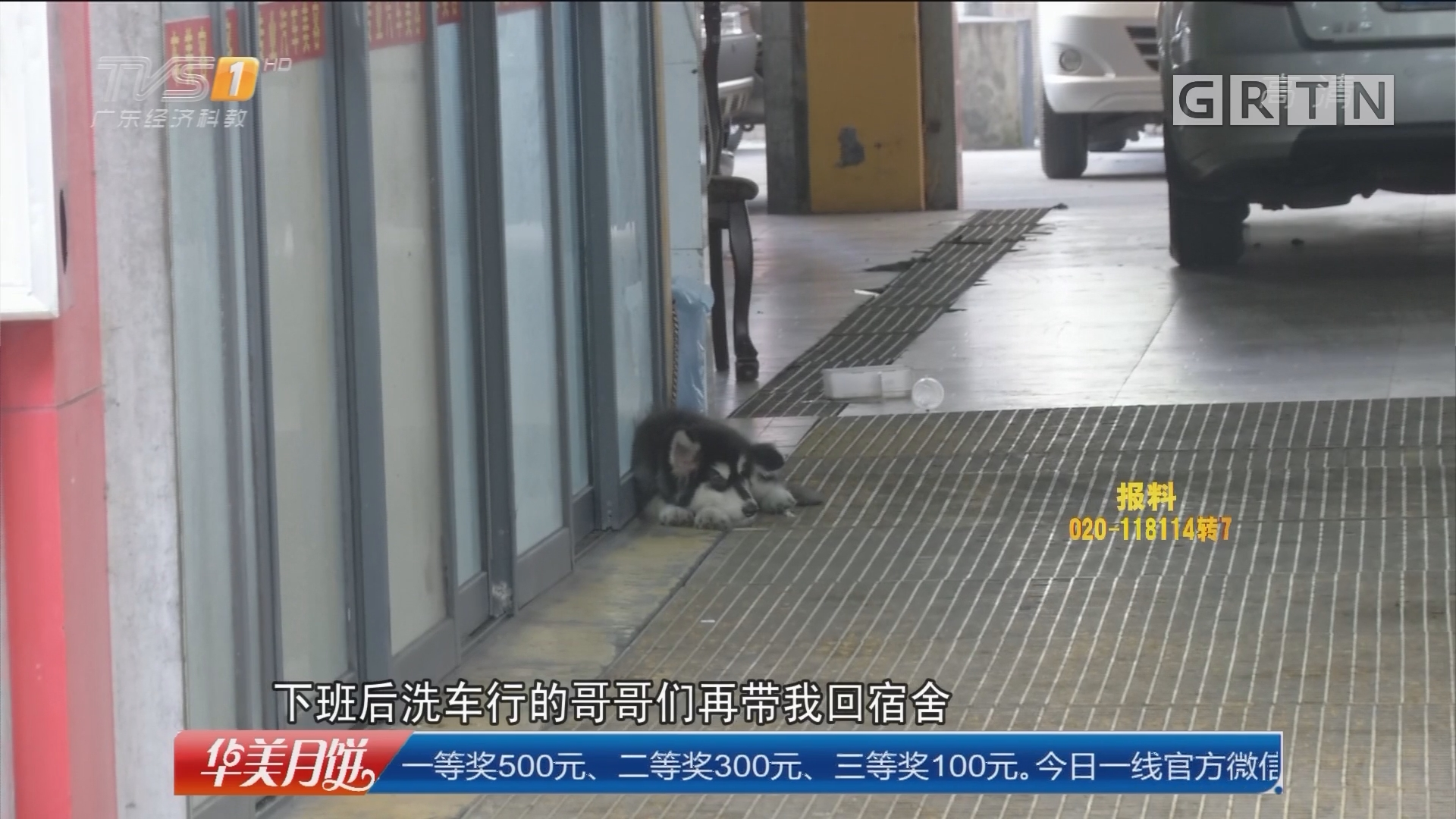 佛山禅城:阿拉斯加犬走失 酒店大堂内现身