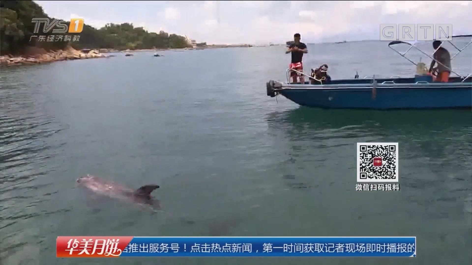 惠州双月湾:海豚现身港口 潜水员施援