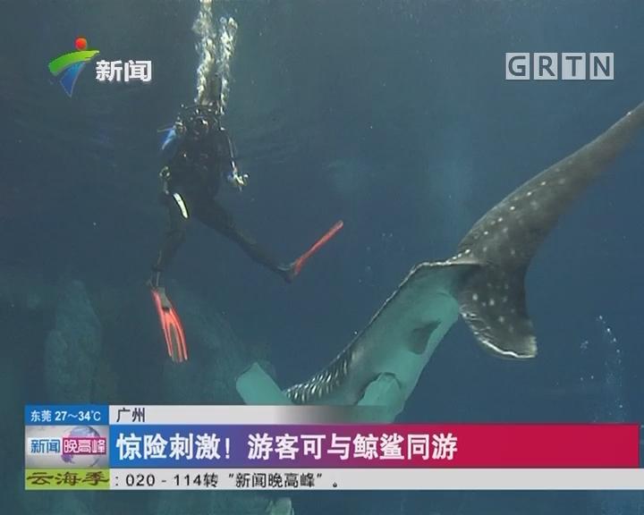 广州:惊险刺激! 游客可与鲸鲨同游