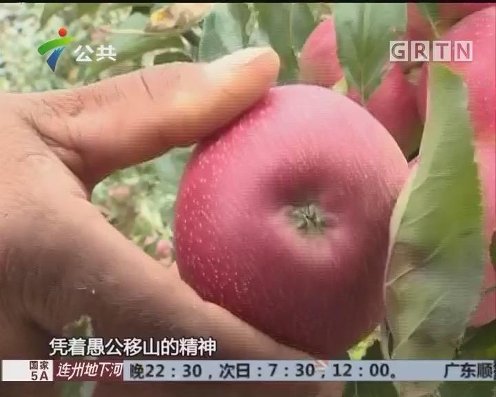 """西北勒苹果 石头山""""长出""""甜日子"""